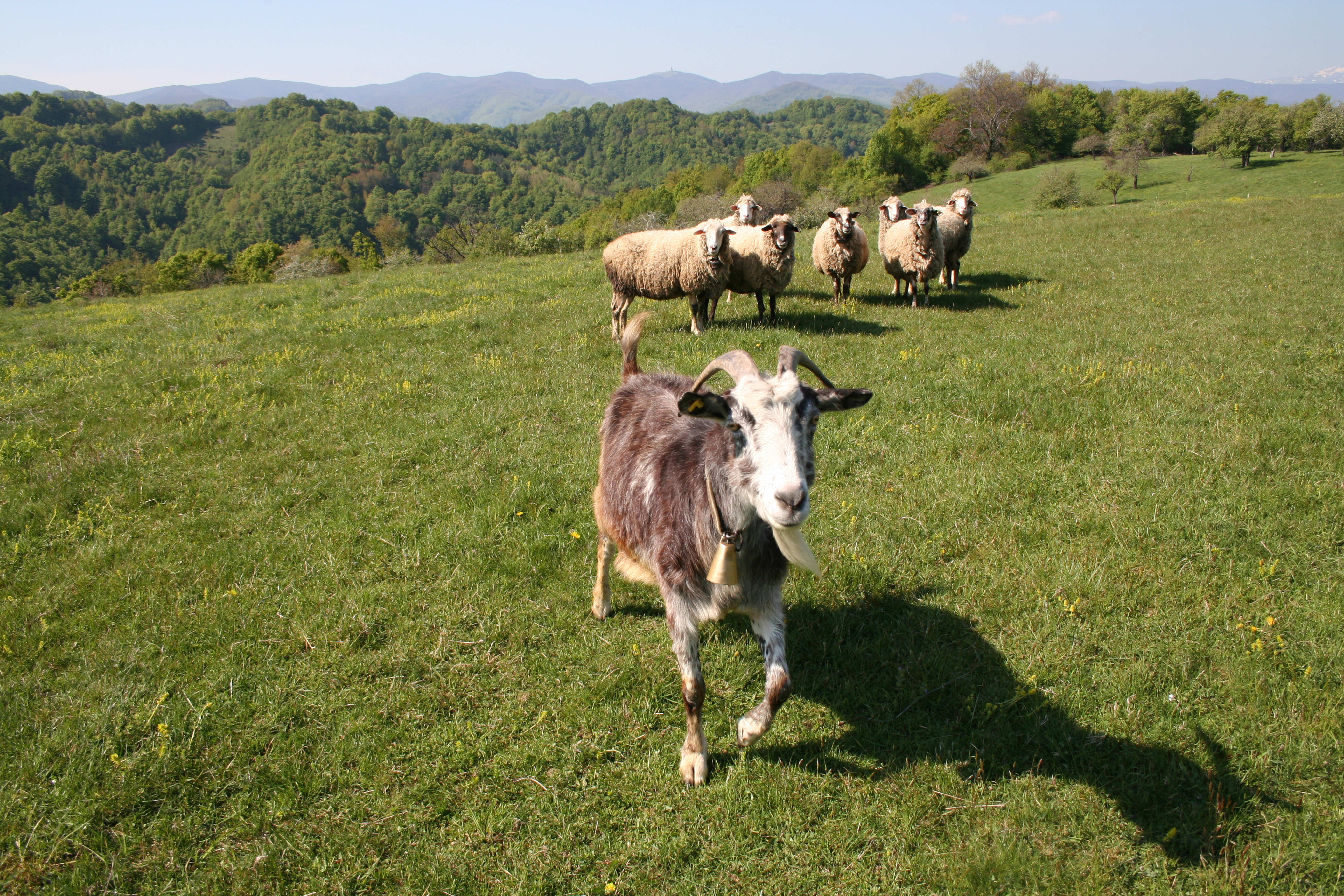 Bulgarian Balkan Meadow With Sheep And Goat