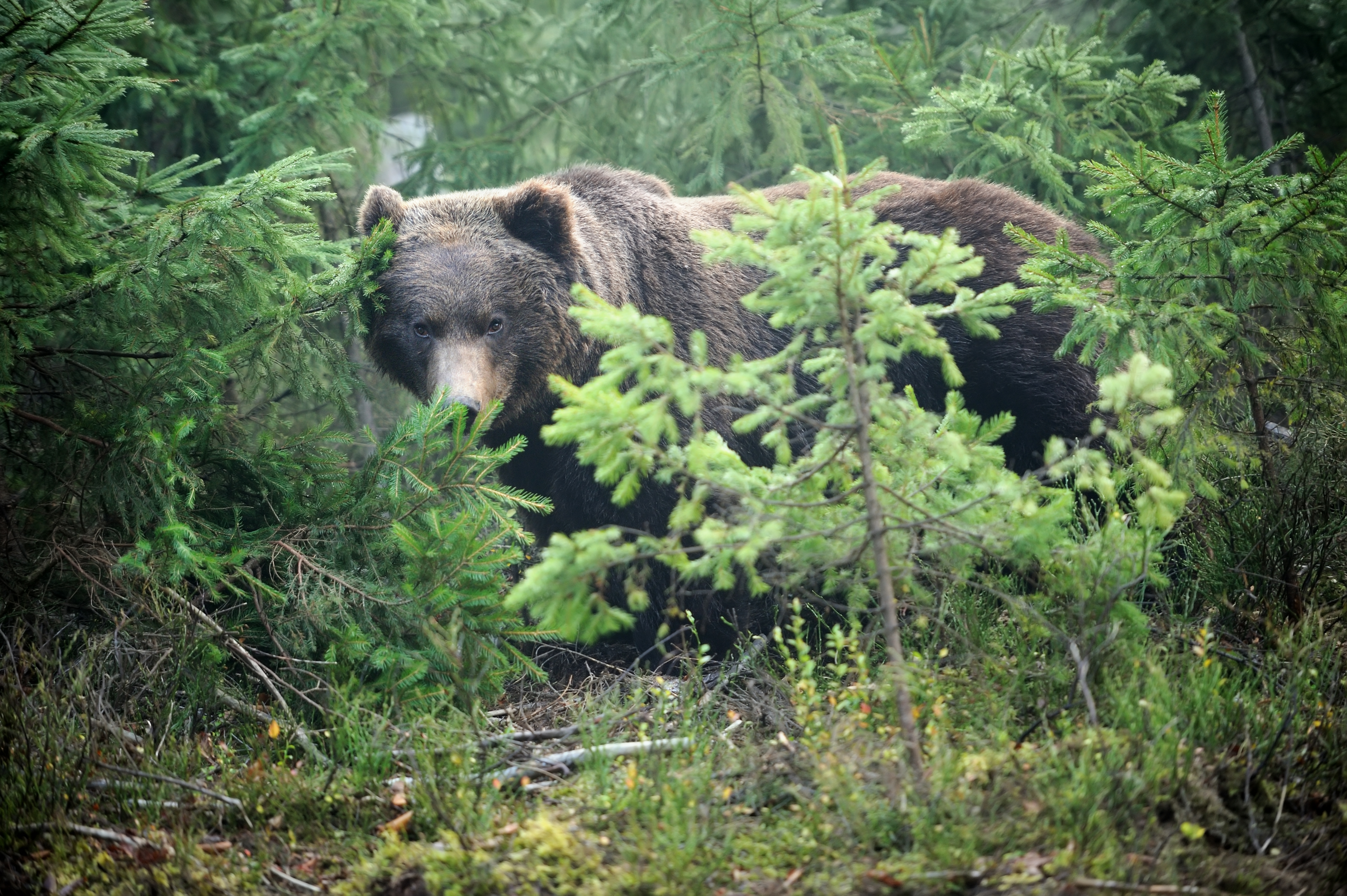 Brown Bear – The King Of Central Balkan Mountain, Bulgaria.